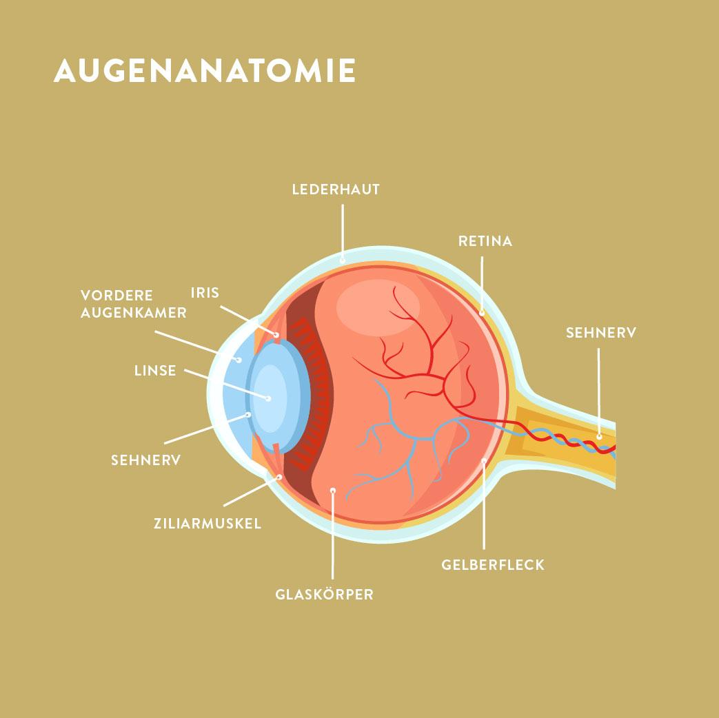 Augenanatomie